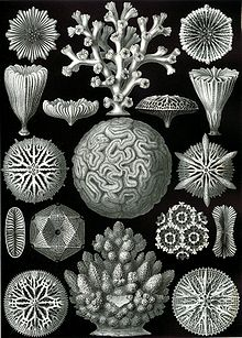 Haeckel Hexacoralla.jpg