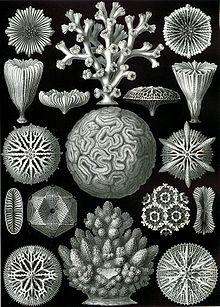 Haeckel Hexacoralla.jpg