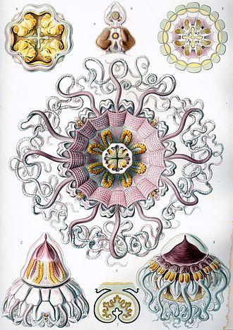 Crown jellyfish - Image: Haeckel Peromedusae