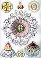 Haeckel Peromedusae.jpg