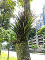 Hairy tree with fern in Singapore.jpg