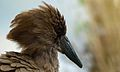 Hamerkop (Scopus umbretta) (6021552748).jpg