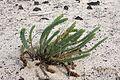 Haría - Lugar Diseminado Maguez-LZ-1 - MNLC - Punta Prieta - Euphorbia paralias 04 ies.jpg