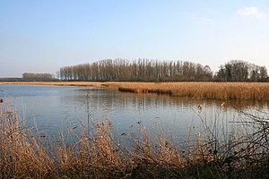 Reed bed - Reed bed of Harchies ponds Belgium