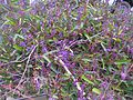 Hardenbergia violacea plant11 ANBG ST - Flickr - Macleay Grass Man.jpg