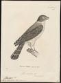 Harpagus bidentatus - 1700-1880 - Print - Iconographia Zoologica - Special Collections University of Amsterdam - UBA01 IZ18200270.tif