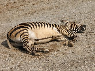Mountain zebra - Hartmann's mountain zebra resting, showing its characteristic essentially unbarred belly