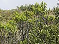 Hebes and other shrubs (6708941289).jpg