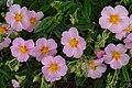 Helianthemum 'Lawrenson's Pink' J1.JPG