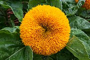 Helianthus annuus - Teddy Bear.jpg