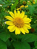 Helianthus decapetalus 002.jpg