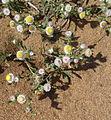 Helichrysum (14749603460).jpg