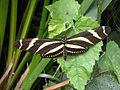 Heliconius charithonia 10.jpg