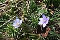 Hepatica nobilis - img 17249.jpg