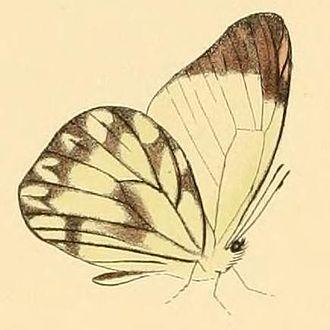 Hesperocharis nera - Image: Hesperocharis nera 1
