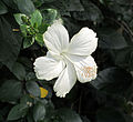 Hibiscus in rajbiraj (1).JPG