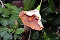 Hibiscus rosa-sinensis Harry Boris 1zz.jpg