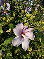 Hibiscus syriacus sl6.jpg