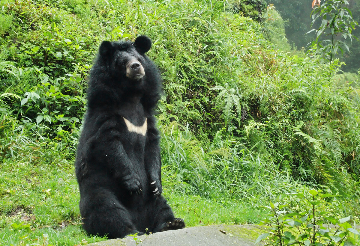 Will Black Bears Attack Dogs