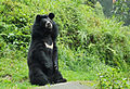 Himalayan bear.jpg