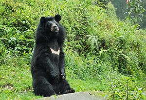 Himalayan black bear - Image: Himalayan bear