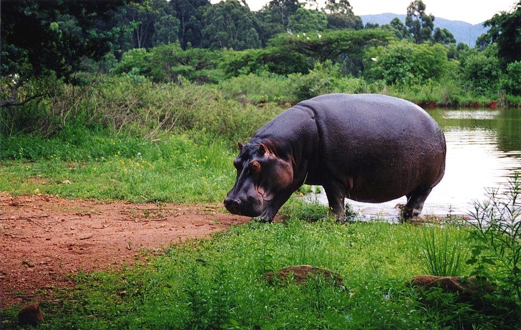 K Lite Hippo File File:Hippo Swaziland.j...
