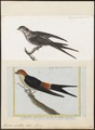 Hirundo cucullata - 1700-1880 - Print - Iconographia Zoologica - Special Collections University of Amsterdam - UBA01 IZ16700141.tif