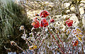 Hoar frost on a rose.jpg