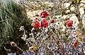Hoar frost on a rose.jpg