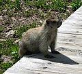 Hoary Marmot (Marmota caligata) in Logan Pass - Flickr - Jay Sturner.jpg
