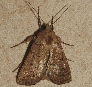 <i>Homorthodes communis</i> Species of moth