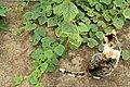Horngurke - Kiwano - Cucumis metuliferus im Folienhaus, kletternd 05 ies.jpg