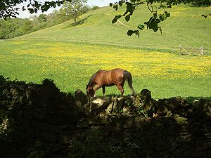 A horse in a field of buttercups in the Cotswolds