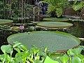 Hortus Botanicus Leiden - Victoria Amazonica.JPG