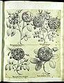 Hortus Eystettensis, Vorzeichnungen (MS 2370 2952587) -Verna,6,2.jpg