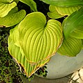 Hosta 'Sum and Substance' Leaf 2448px.jpg