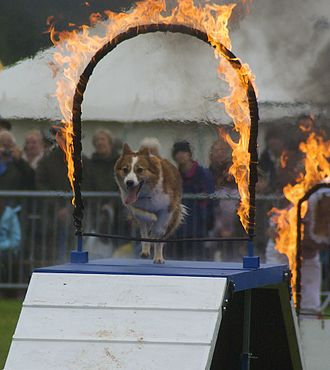 Monmouthshire Show - Dog agility and obedience trials