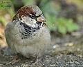 House Sparrow (10120858475).jpg