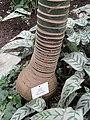 Howea belmoreana - Botanischer Garten Freiburg - DSC06312.jpg