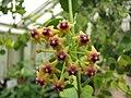 Hoya cumingiana.jpg
