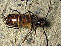 Huhu beetle 02.jpg