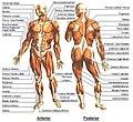 Human Body-Muscular.jpg