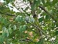 Hummingbird, Canada Ontario.jpg
