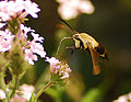 Hummingbird Moth another view - Flickr - Andrea Westmoreland.jpg