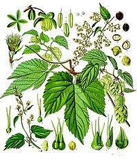 Humulus lupulus - Köhler–s Medizinal-Pflanzen-072.jpg