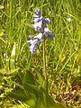 Hyacinthoides hispanica 2015-05-12 01.jpg