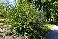 Hydrophyllum virginianum - Bergianska trädgården - Stockholm, Sweden - DSC00091.JPG