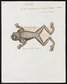 Hyla venulosa - 1700-1880 - Print - Iconographia Zoologica - Special Collections University of Amsterdam - UBA01 IZ11500229.tif