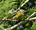 Hylophilus thoracicus - Lemmon-chested greenlet.jpg