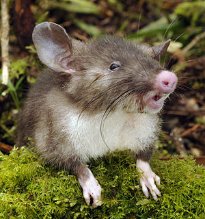 Rhinogradentia - Hyorhinomys stuempkei, a real species of shrew rat named for Stumpke